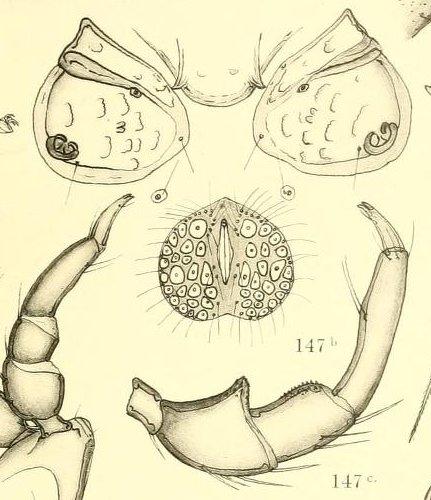Hygrobates polyporus - b: ventral male - c: palpi female