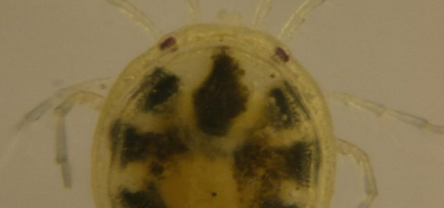 This water mite was Found in the Sarthe river in the village of Roëzé in France the 7th of April 2012. The length of this water mite is 890µm […]
